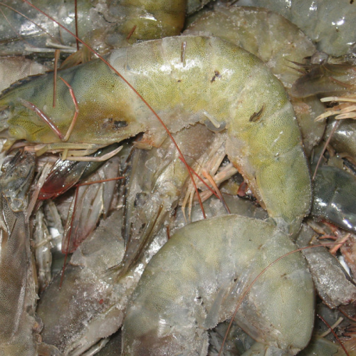 Effect of Freeze-Thaw Cycles on Quality of Pacific White Shrimp