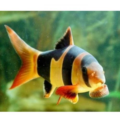 Teknologi Pembenihan Ikan Hias Botia