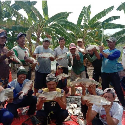 Dari Laut, Kakap Putih Berkembang di Air Payau