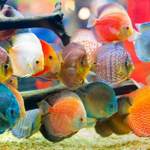 Waspadai Parasit Utama pada Ikan Hias