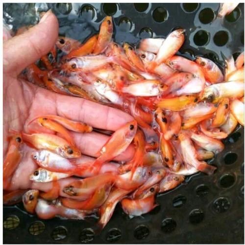 Cara Mudah Memilih Bibit dan Indukan Ikan Nila