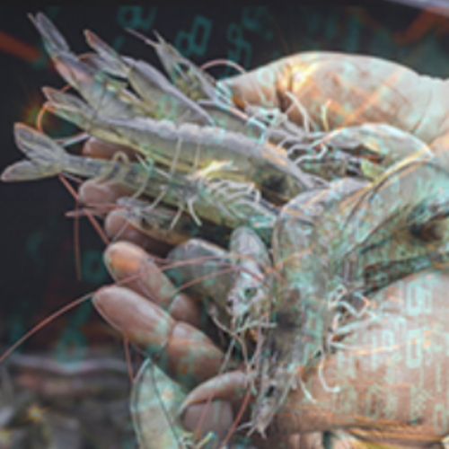 Harnessing Big Data to Fight Shrimp Diseases and Allay Investor Fears