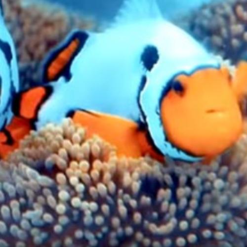 Budidaya Clownfish Sistem Resirkulasi Skala Rumah Tangga