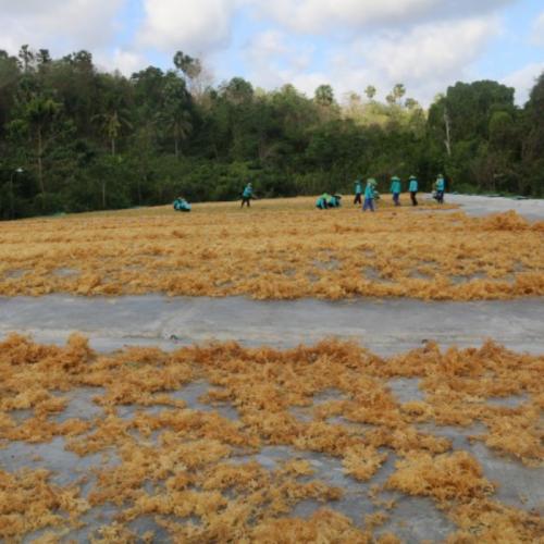 KKP Fokus Garap Potensi Rumput Laut Di Pulau Terpencil dan Daerah Terluar