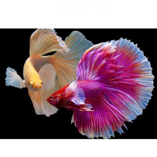 5 Makanan Ini Bisa Bikin Warna Ikan Cupang Makin Cerah, Apa Saja?