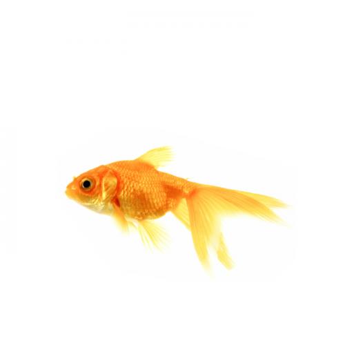 Artificial Goldfish Breeding Technique