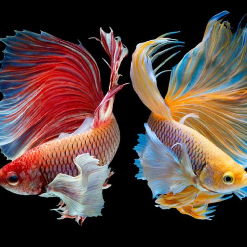 Cupang, Ikan Sawah yang Naik Panggung Kontes