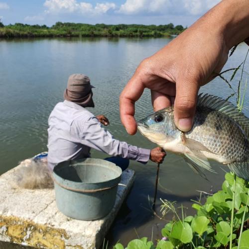 Beradaptasi terhadap Perubahan Iklim, Petambak Rumput Laut Glacilaria di Bone Budidaya Ikan Nila