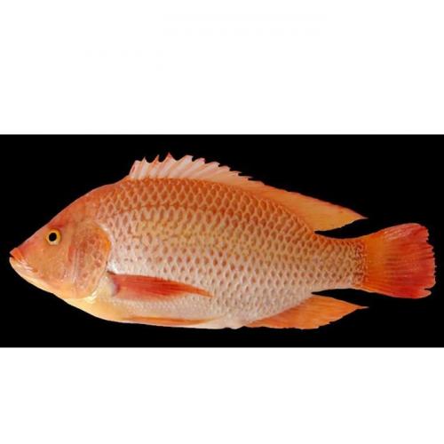 Pembenihan Ikan Nila Merah dalam Waduk