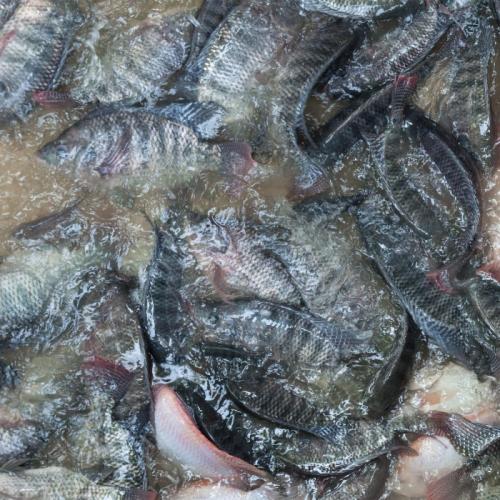 Budidaya Ikan Dikembangkan di Pesantren