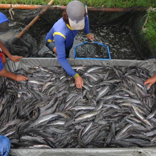 KKP Gandeng FAO Kendalikan Resistensi Antimikroba