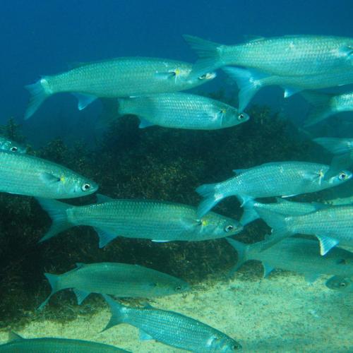 Pemberian Pakan Ikan Belanak saat Monokultur ataupun Polikultur