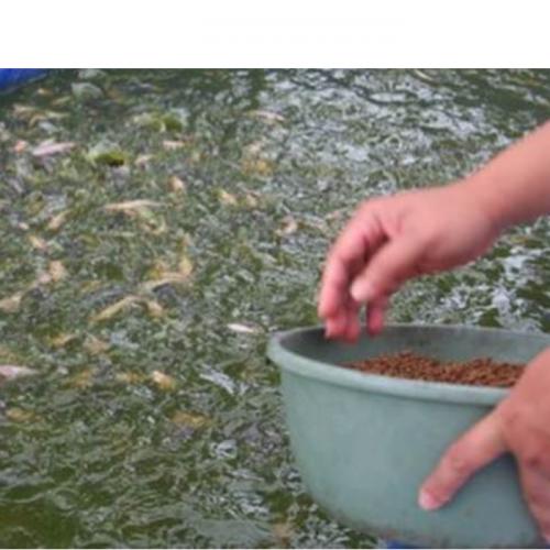 Begini Cara Pemberian Pakan Ikan Gurami yang Baik