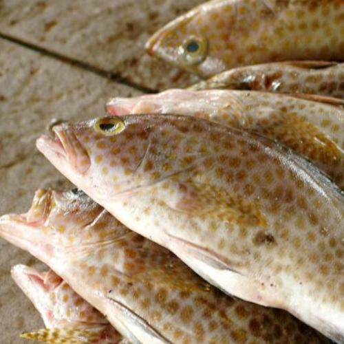 Peluang Usaha Budidaya Ikan Kerapu