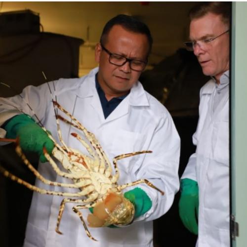 KKP Fokus Kembangkan Budidaya Lobster di Kawasan Sentra Benih