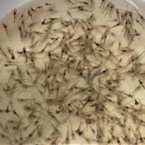 Evaluating Plant Protein Sources Replacing Fishmeal In Juvenile White Shrimp Diets