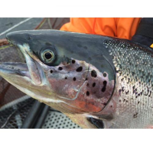 Genome Editing: Potential to Improve Aquaculture Breeding, Production