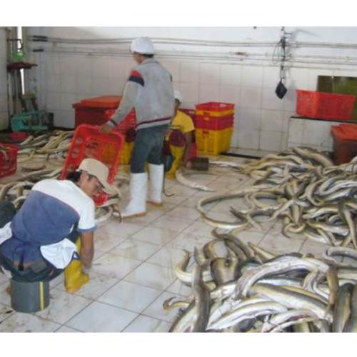 KKP Dorong Pemda dan Pengusaha Budidaya Ikan Sidat