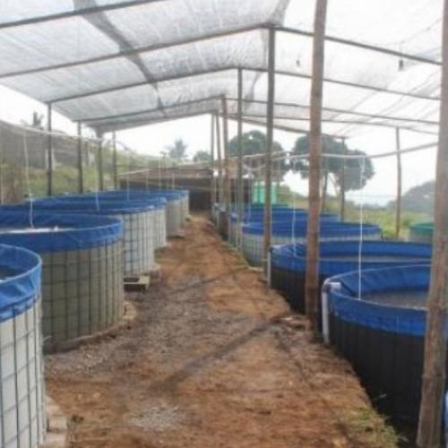 Sistem Bioflok, Teknologi Budidaya Baru untuk Ikan Nila