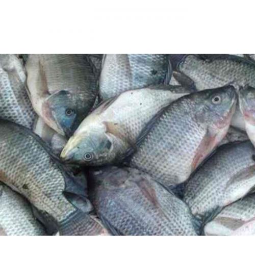 KKP Kembangkan Vaksin Kombinasi Ikan Nila dengan Tingkat Perlindungan yang Lebih Tinggi