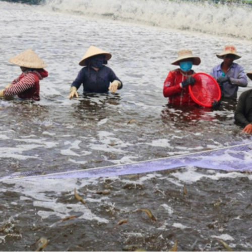 Ensuring the Water Environment of Shrimp Ponds in the Hot Season