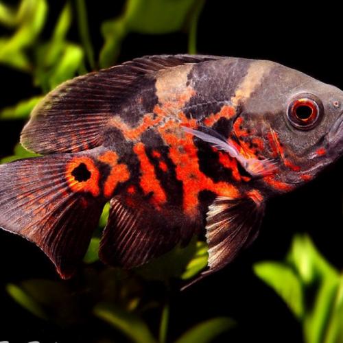 Mengenal Varian Ikan Oscar, Ikan Ganas yang Cantik untuk Akuarium Anda