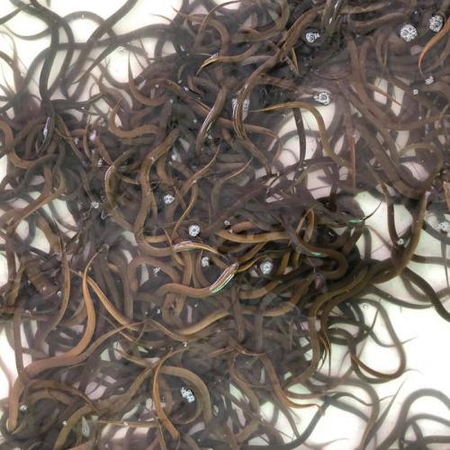 Feeding Eels with Black Soldier Fly Larvae