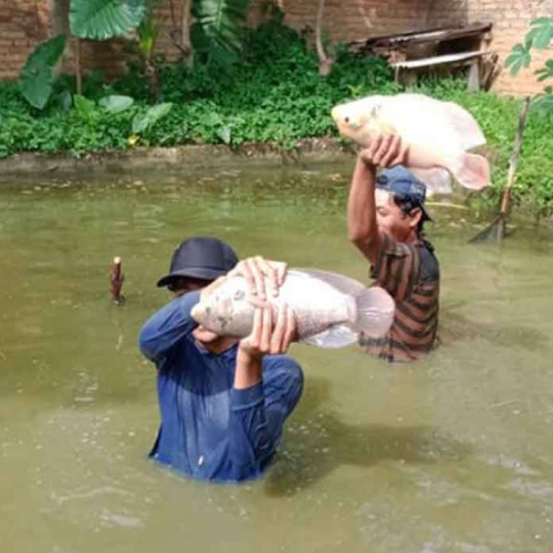 Cara Budidaya Ikan Gurame, Terbukti Panen Lebih Cepat & Lebih Untung