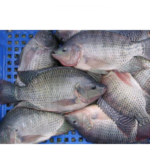 Mengenal Jenis-Jenis Ikan Nila Unggul