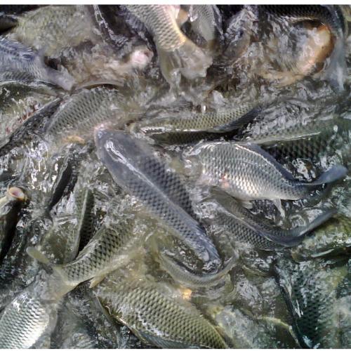 Menilik Sistem Budidaya Ikan Mas di Kolam Air Deras