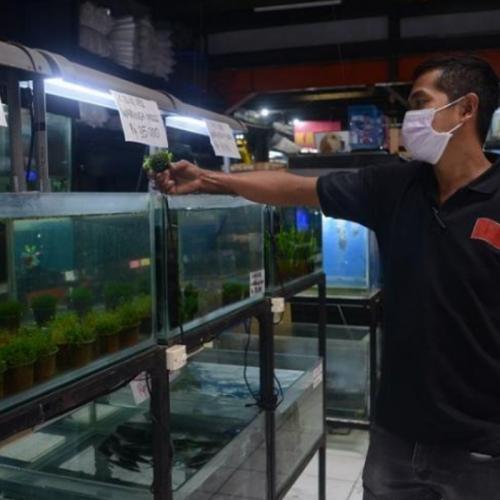 Bisnis Ikan Hias Kebal Pandemi, Tidak Ditinggalkan Penggemarnya