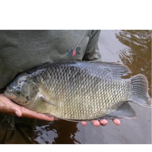 5 Cara Memilih Indukan Ikan Gurame yang Baik