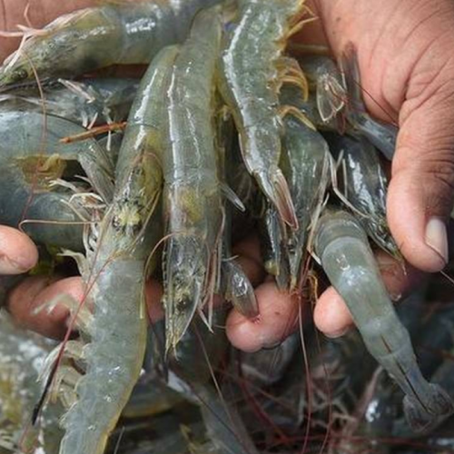 Lysozyme Stimulates Growth and Immunity in Vannamei Shrimp