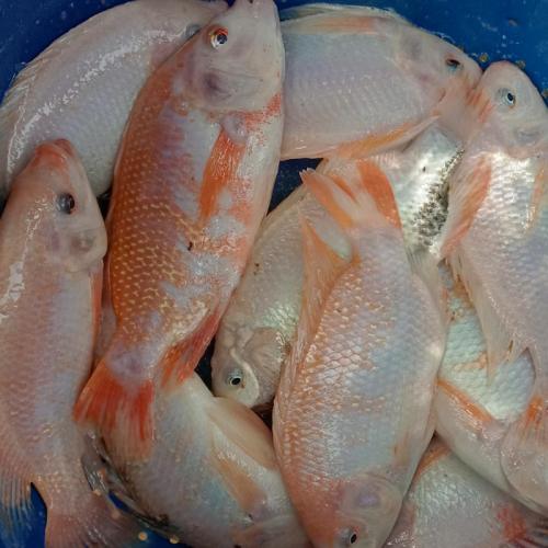 Pasarmina Ikan Nila Merah Fishtipeace Depot Ikan